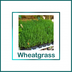 purchase fresh wheatgrass